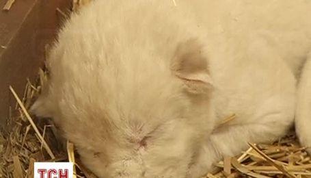 Трое львят-альбиносов родились в зоопарке в центральной Польше