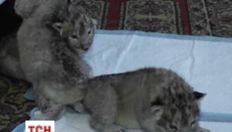 В крымском сафари-парке впервые родились трое серых львят