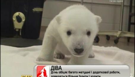 Интернет покорили первые шаги полярного медвежонка
