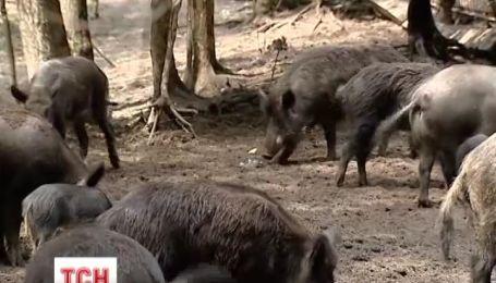 На Донеччині від африканської чуми свині мруть, як мухи