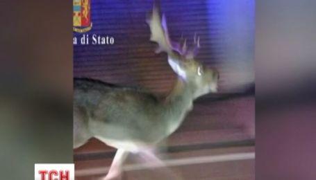 Олень налякав мешканців італійської Верони