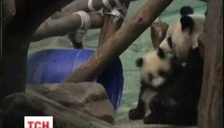 Посмотреть на проделки панды Юань Зай в зоопарк за день пришло 68 тысяч человек
