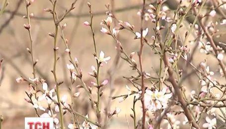 Дика японська слива розквітла в Одесі