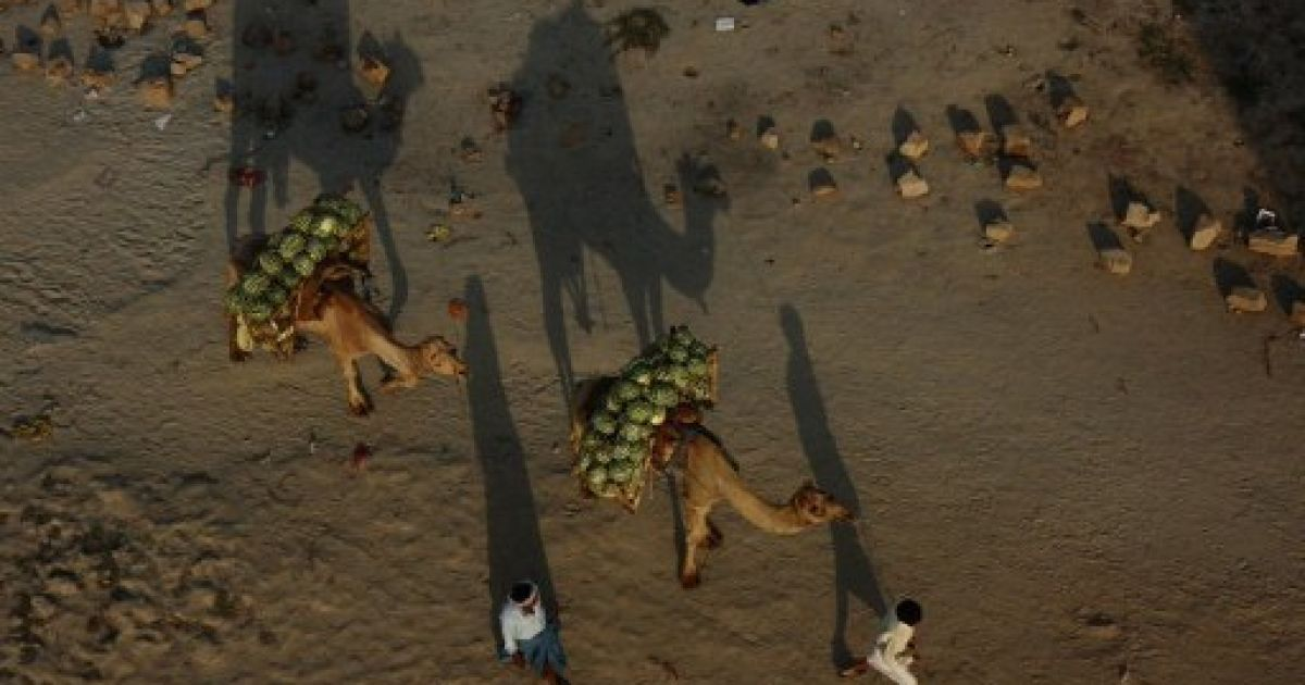 Індія, Аллахабад. Фермери ведуть верблюдів, навантажених кавунами, на ринок у Аллахабаді. @ AFP