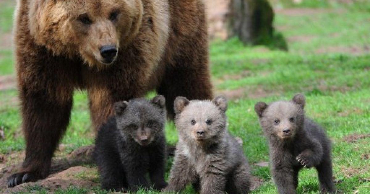 Німеччина, Клеєбронн. Ведмедиця Орса та троє її ведмежат гуляють у вольєрі парку дикої природи Tripsdrill. @ AFP