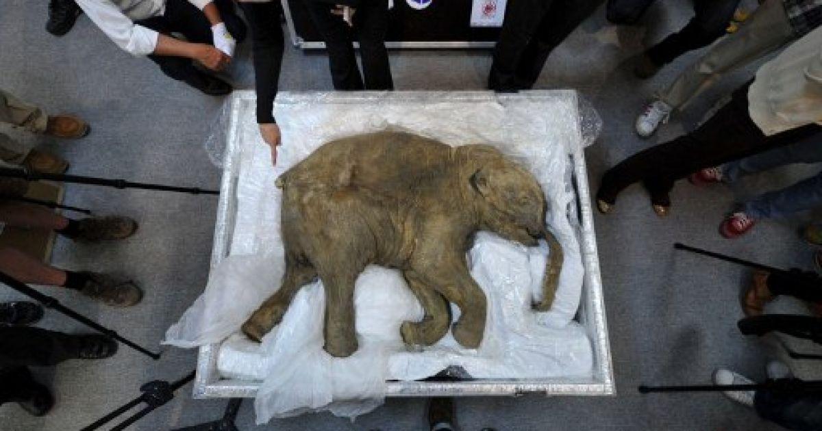 Китай, Гонконг. Мамонта Любу віком 42 тисячі років, яку російські оленярі знайшли в Сибіру, привезли на виставку до Гонконгу. @ AFP