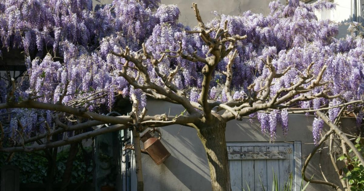 Парк квітів Асікага в Японії @ bigpicture.ru