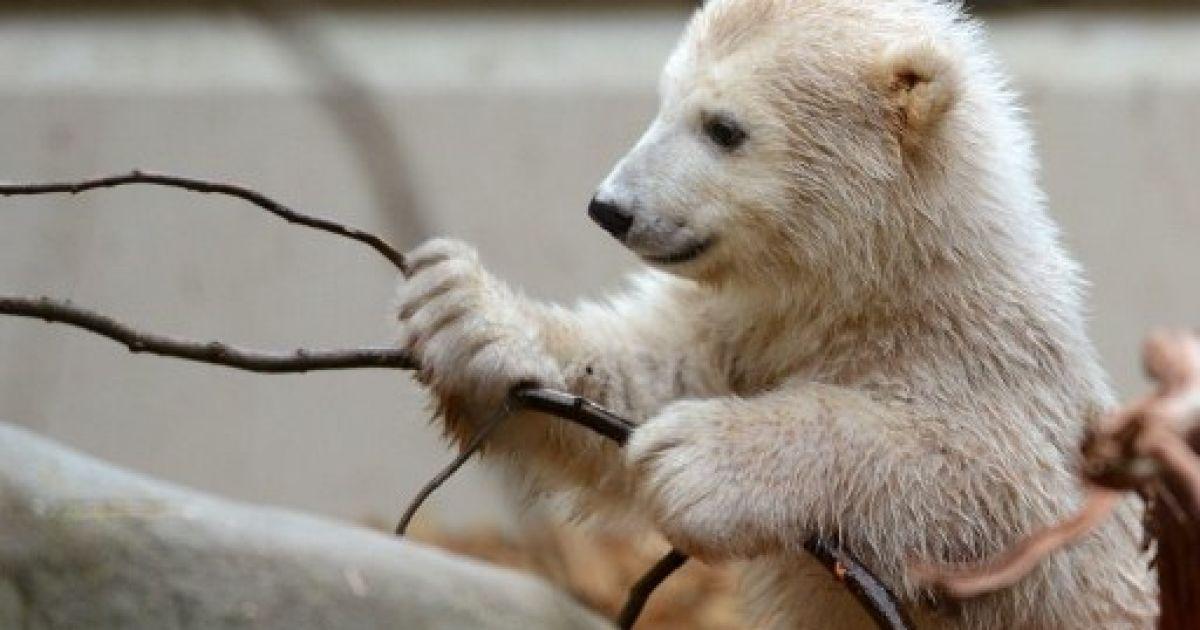 Німеччина, Вупперталь. Біле ведмежа Анорі грає у своєму вольєрі в зоопарку Вупперталя. Анорі народилася 4 січня 2012 року від того ж батька, що й всесвітньо відомий білий ведмідь Кнут, який помер у 2011 році. @ AFP