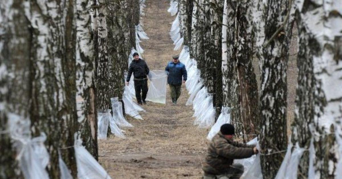 Білорусь, Білиця. Працівники збирають березовий сік у пластикові пакети біля села Білиця. @ AFP