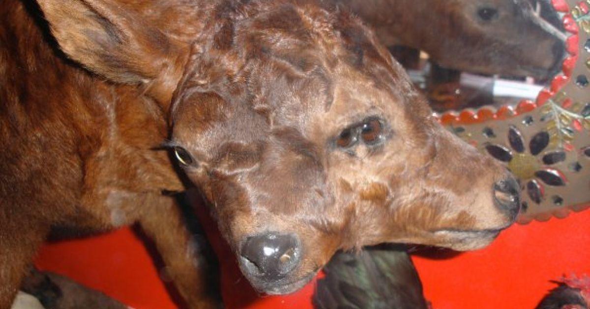 Унікальна колекція тварин з двома головами демонструється в США @ Facebook/Venice Beach Freakshow