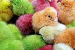 К Пасхе вместо крашеных яиц продают крашеных цыплят