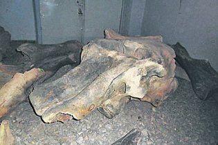 У Дніпропетровську показали череп мамонта, якому 30 тис. років
