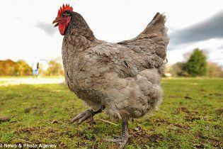 В Британии уникальная курица несет яйца, которые предвещают погоду (фото)