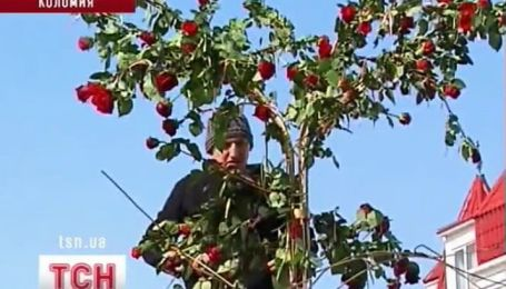 Самое высокое дерево из роз