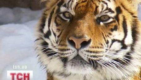 Співробітника київського зоопарку, на якого вчора напав тигр, прооперували
