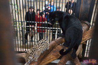 На Харківщині на жінку напав ягуар