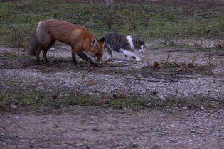 Зворушлива дружба кота і лисеняти потрапила в кадр під час фотосесії на Хортиці