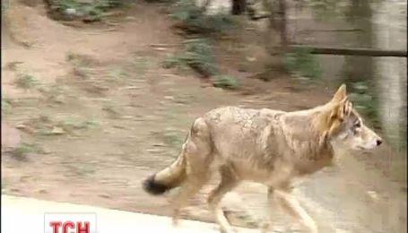 На Житомирщине волк покусал трех человек