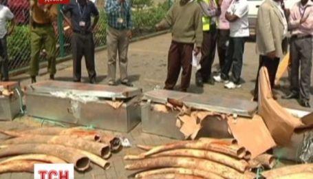 Рога кенийских носорогов оборудуют микрочипами, чтобы защитить животных