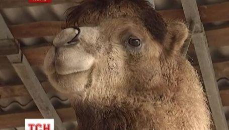 Харківські МНС-ники врятували верблюда