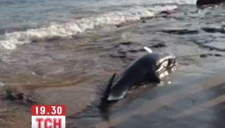 Десятки косаток викинулися на берег Бразилії