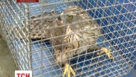 Орла освободили из ловушки на Полтавщине