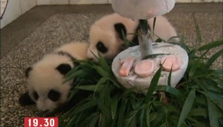 Пандам-близняшкам устроили празднование 100 дней от роду