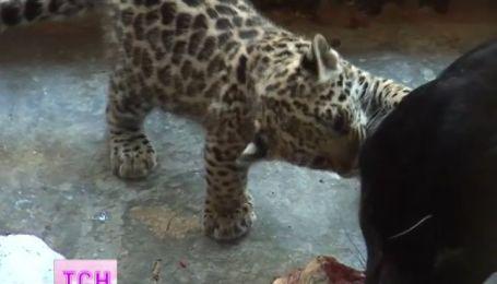 Двійко маленьких ягуарів народилися у Миколаївському зоопарку