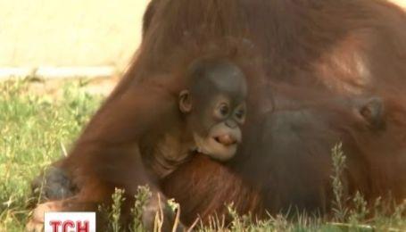 У зоопарку Будапешта сім'я орангутангів стала місцевими зірками