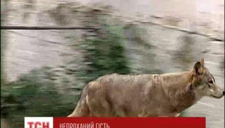 На Житомирщині вовк покусав трьох людей