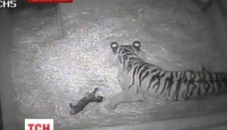 В лондонском зоопарке, впервые за десятилетие, родился редчайший тигренок
