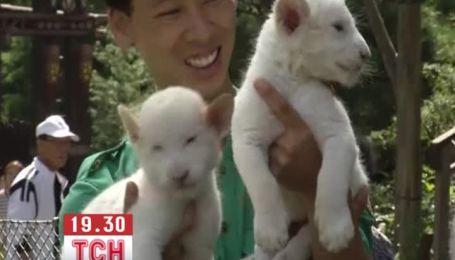 В зоопарку Сеула показали рідкісних новонароджених левенят