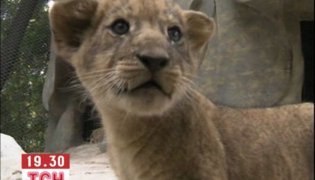 В китайському зоопарку показали відразу п'ятьох новонароджених левенят