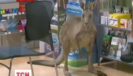 В Австралии раненый кенгуру ворвался в аптеку