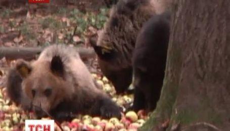 Російські працівники міжнародного фонду захисту тварин випустили на волю двох ведмежат