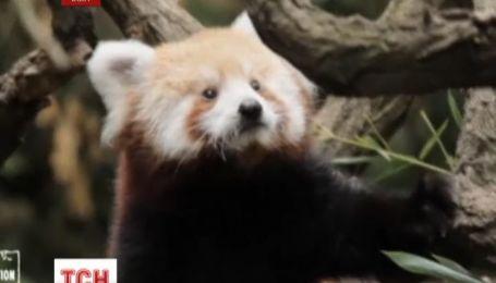 Красные панды дебютируют в Нью-Йорке