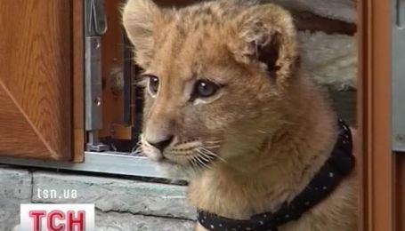 Прогуляться по улице в компании льва - можно в Черновцах
