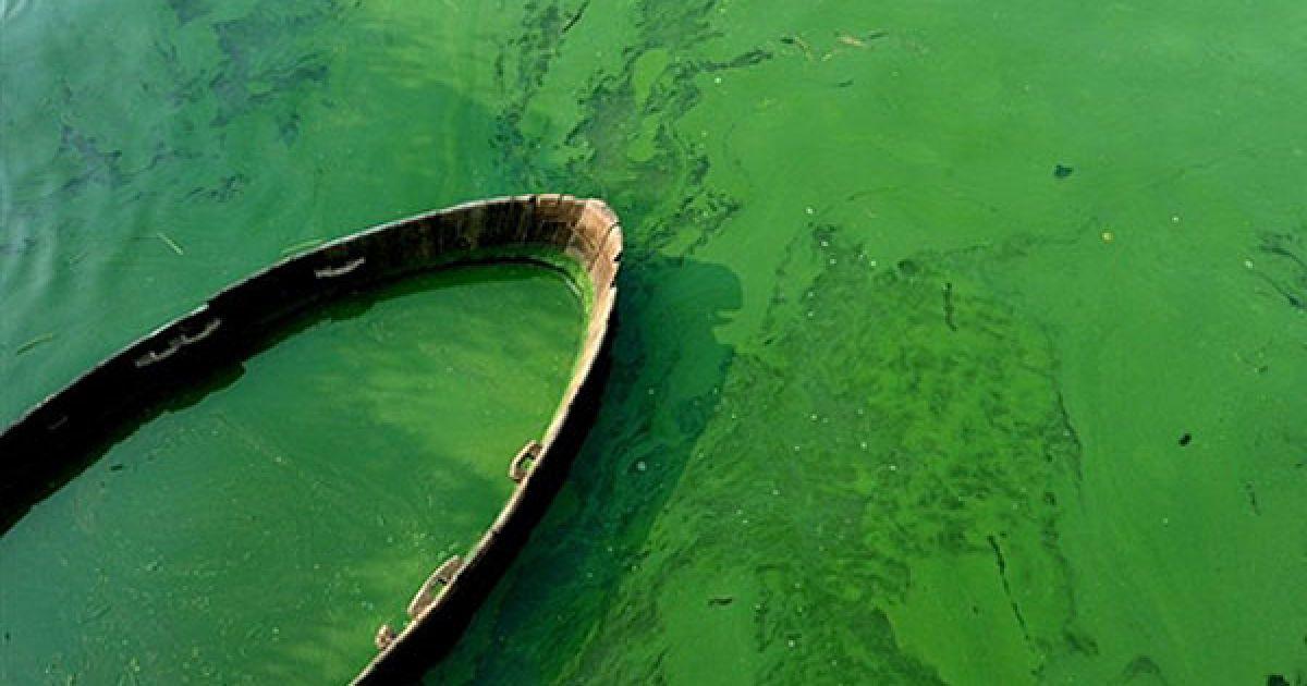 Китай, Аньхой. Човен, оточений зеленими водоростями у озері Коху, провінція Хефей. Зелені водорості розповсюджуються по всьому узбережжю, їхнє цвітіння збільшилося приблизно на 50 відсотків протягом останніх двох місяців. Наразі розмір території, вкритої цвітучими водоростями складає майже 320 квадратних кілометрів, що у 4 рази більше площі острова Гонконг. @ AFP