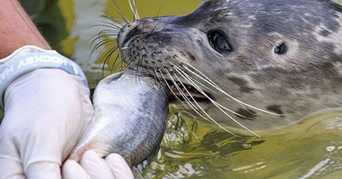 Німеччина, Фрідріхског. Працівник зоостанції годує тюленя рибою. Станція з порятунку тюленів працює у цьому північному місті вже протягом 25 років, тут відгодовують і готують тюленів перед тим, як випустити їх у дику природу. @ AFP