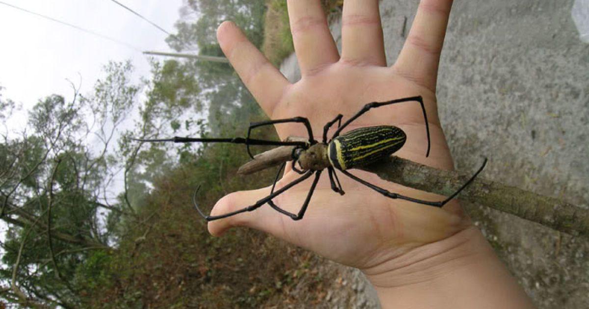 Гігантська павучиха