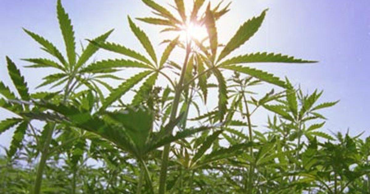 Украинскую коноплю какой срок за употребление марихуаны