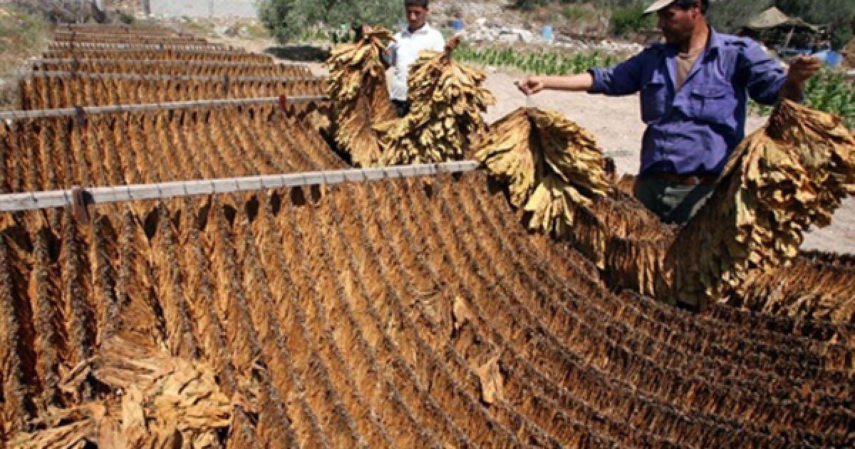 Чоловік сушить на сонці листя тютюну на маленький фабриці з виготовлення сигарет у Ябаді, Палестина. @ AFP