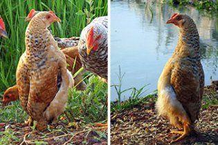 В Китае курица вообразила себя пингвином