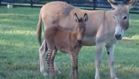 Гибрид осла и зебры появился на свет в заповеднике США