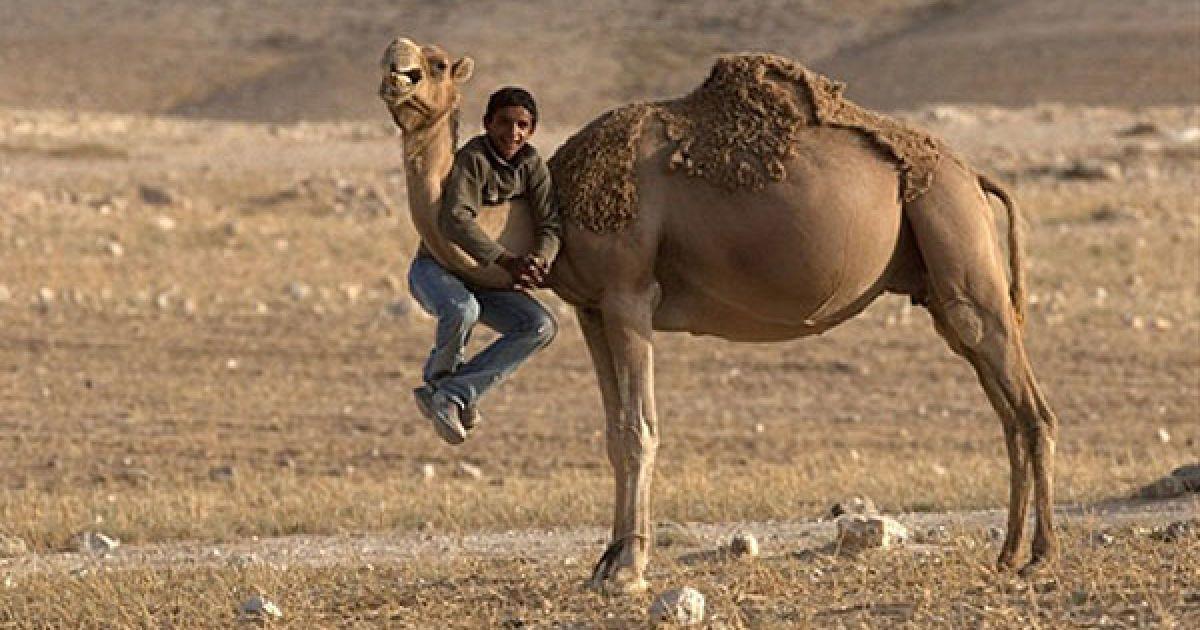 Ізраїль, Арара БаНегев. Бедуїнський хлопчик висить на шиї верблюда у бедуїнському селі Арара, пустеля Негев. У цій пустелі живуть більше 200 тисяч ізраїльських бедуїнів, які складають доволі велику частину ізраїльського суспільства. Іноді бедуїни навіть йдуть до армії або беруть участь у національних і місцевих виборах. @ AFP