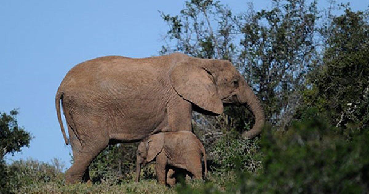 Національний парк слонів Еддо у Східному Кейпі поблизу Кейптауна є одним з найвідоміших місць проживання слонів, чорних і білих носорогів, гірської зебри та інших рідкісних тварин. @ AFP