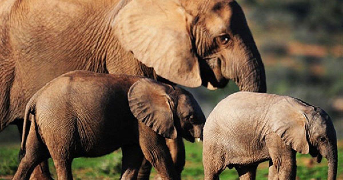 На території парку Еддо, який був заснован у 1931 році, мешкає найбільша у Африці популяція слонів - більше 200 особин @ AFP