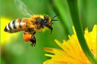 Вимирання бджіл може призвести до загибелі людства