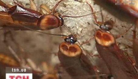 Тараканы - существа компанейские