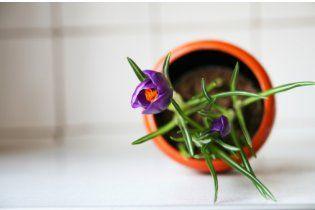 Зимний сад: проращиваем крокусы и бережем петунии
